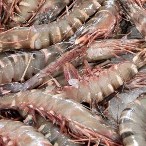 Gambero gigante indopacifico - Giant tiger prawn