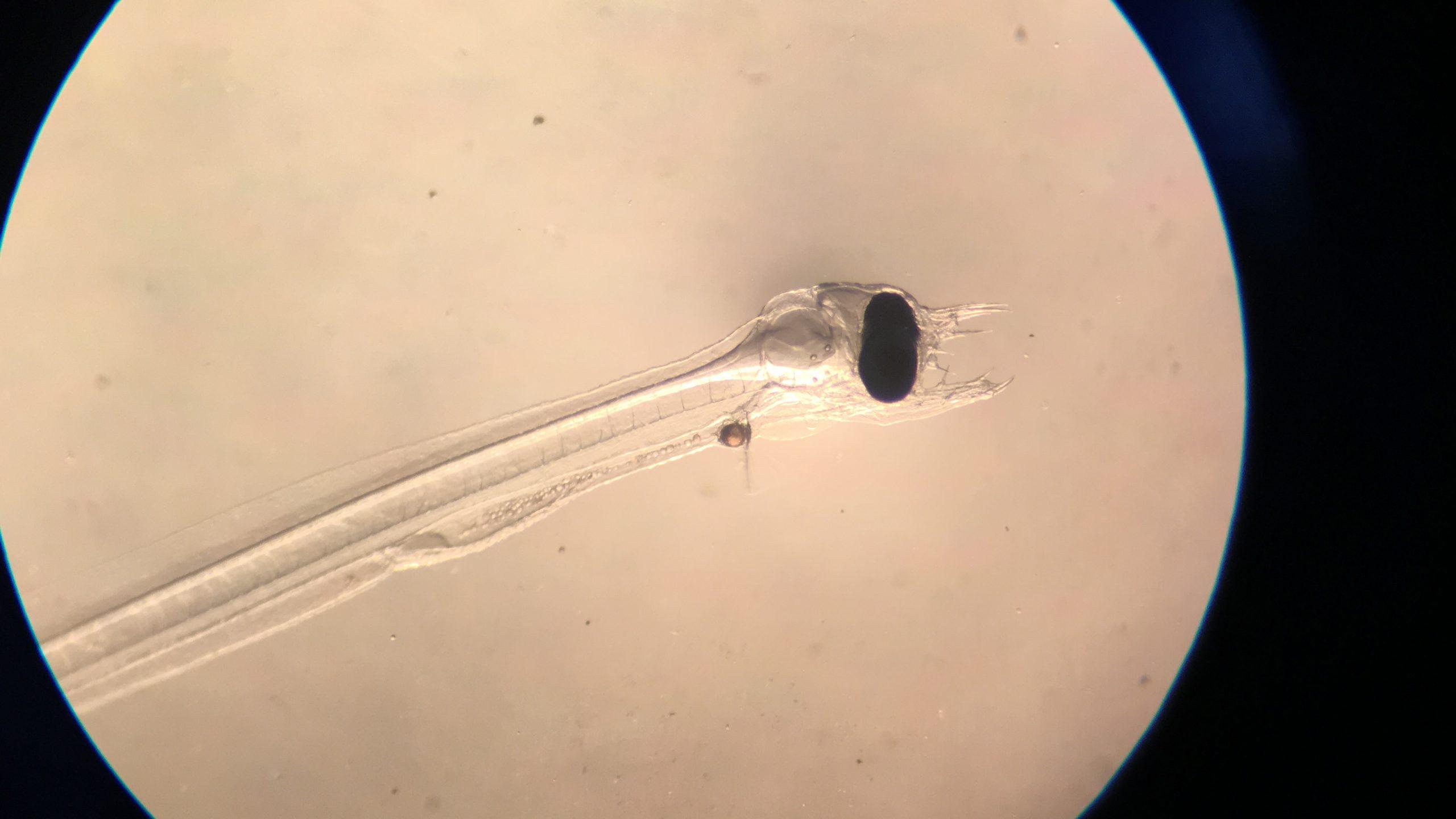 foto di una larva di anguilla di 21 giorni di età